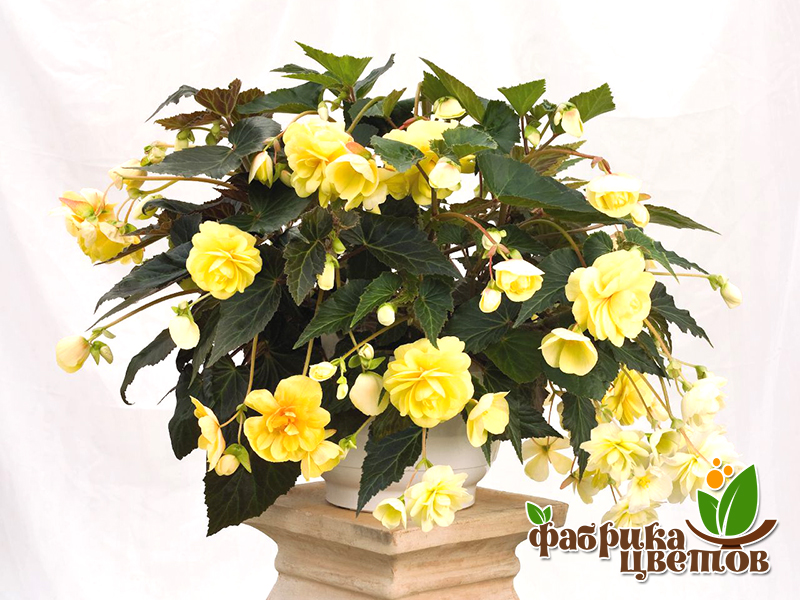 begonia-ampel-0