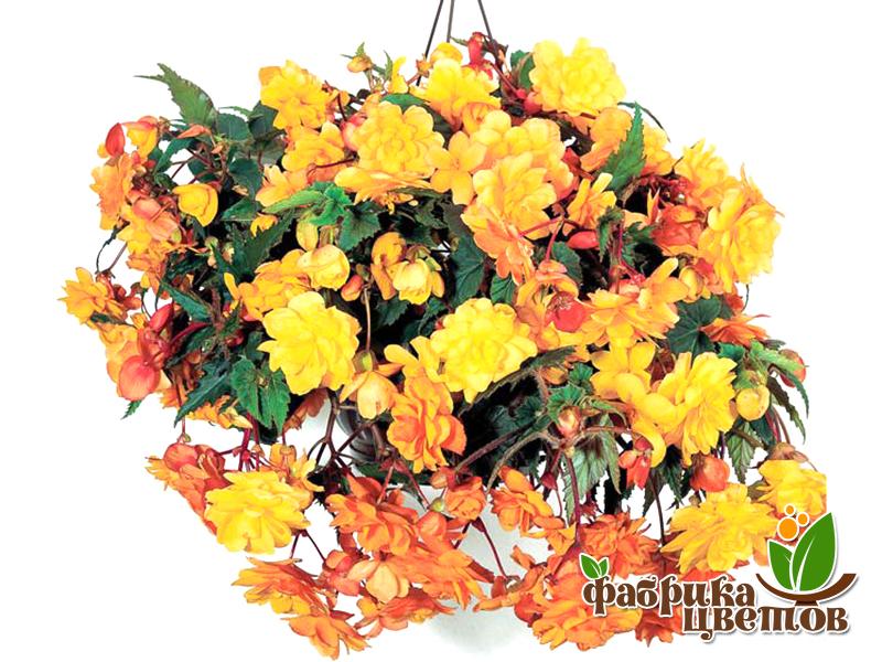 begonia-ampel-2