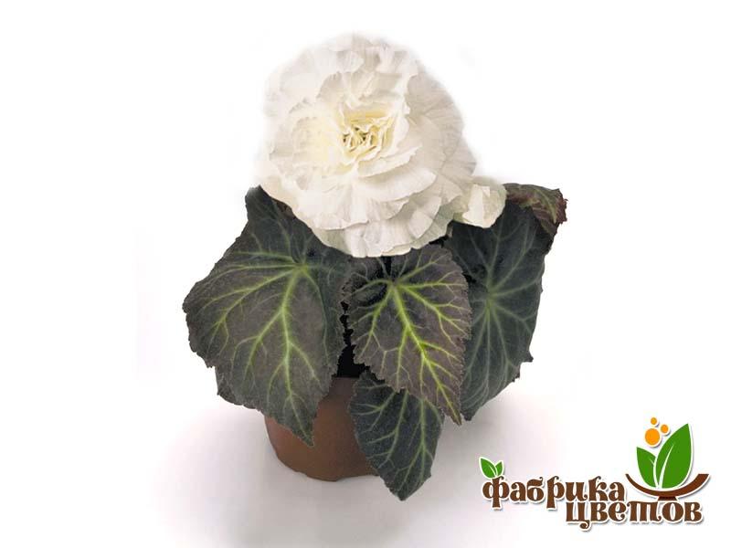 begonia-krupnocvet-10