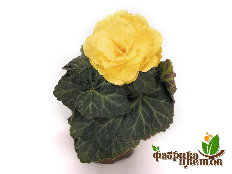 begonia-krupnocvet-11