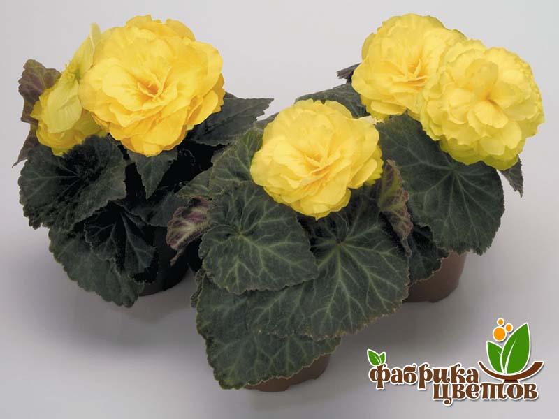 begonia-krupnocvet-12