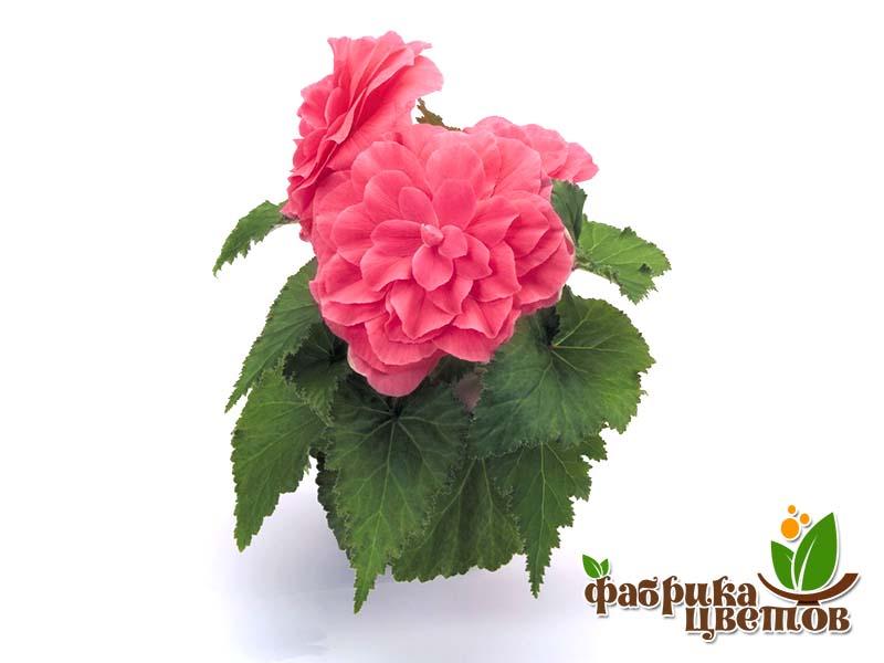begonia-krupnocvet-13
