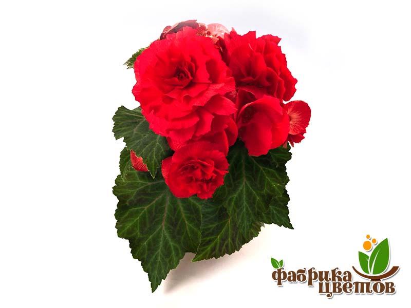 begonia-krupnocvet-14