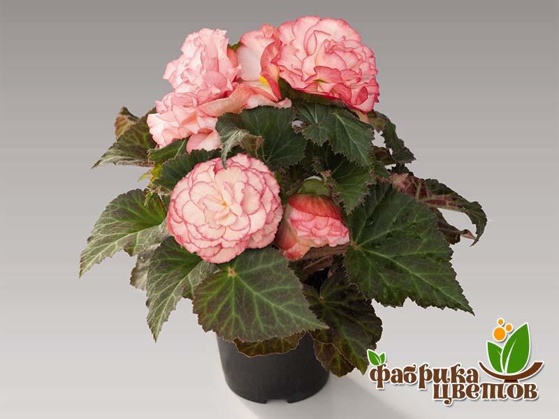 begonia-krupnocvet-15