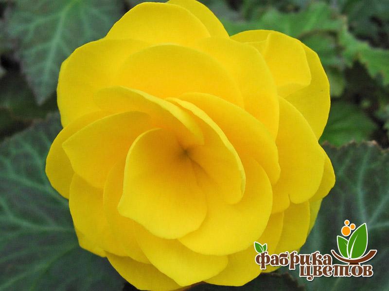 begonia-krupnocvet-16