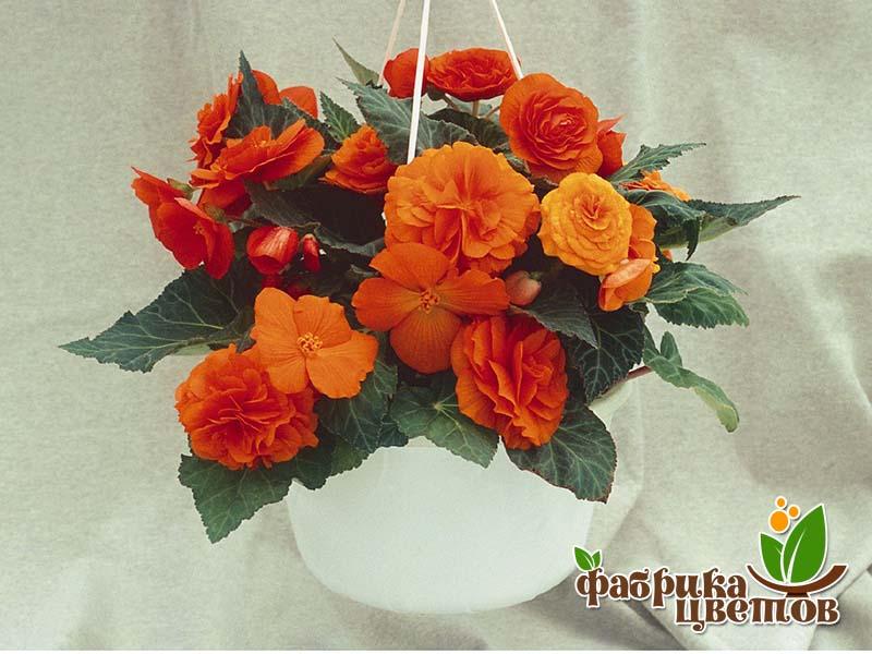 begonia-krupnocvet-8