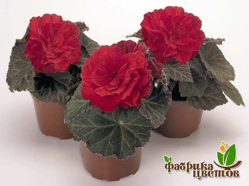 begonia-krupnocvet-9