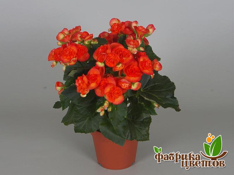 begonia-1
