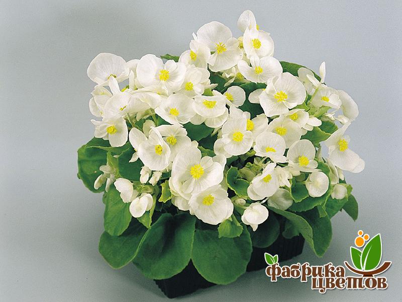 begonia-13