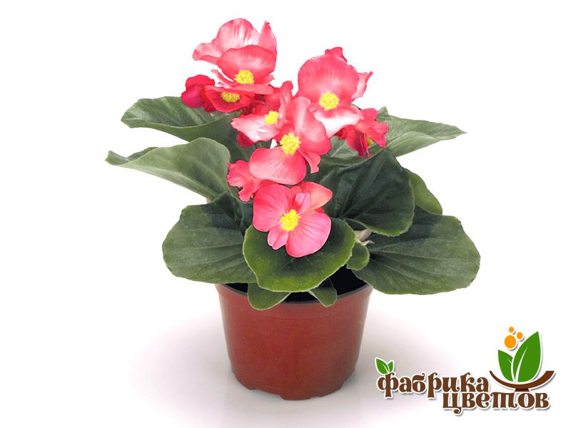 begonia-5