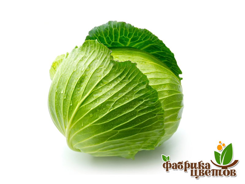 cabbage-1