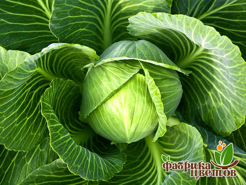 cabbage-7