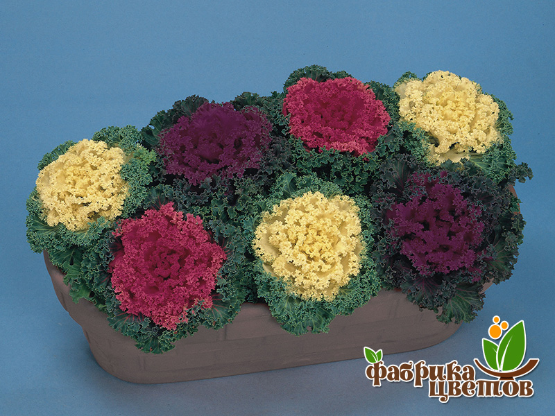 brassica-decor-2
