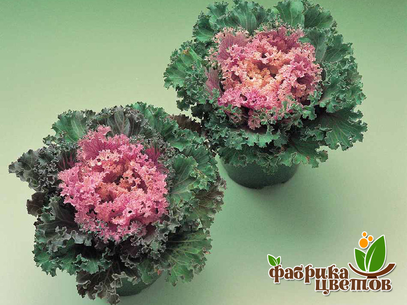 brassica-decor-8