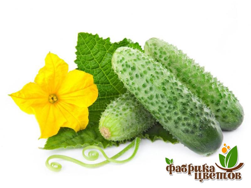 cucumbers-0