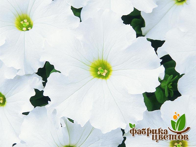 petunia-ampel-1