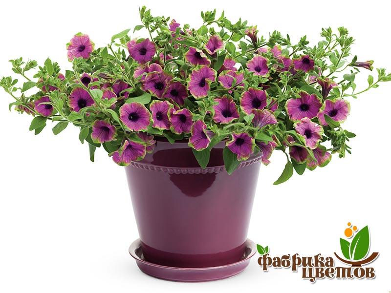 petunia-ampel-4