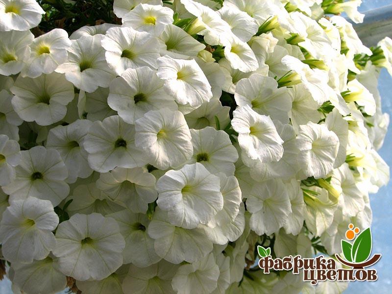 petunia-ampel-5