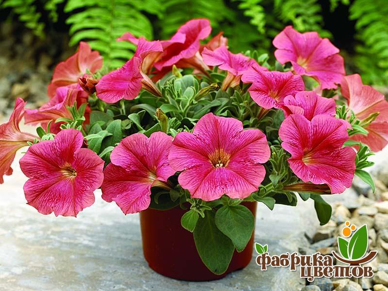 petunia-ampel-9