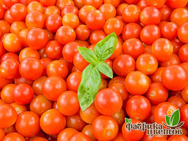 tomatoes-7