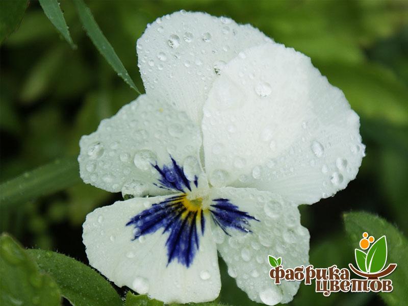 Миляуша цветок