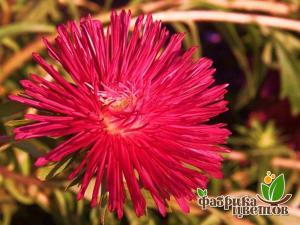 Астра Крупноцветковая Соррель