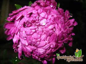 Астра Крупноцветковая Фиолетовая башня