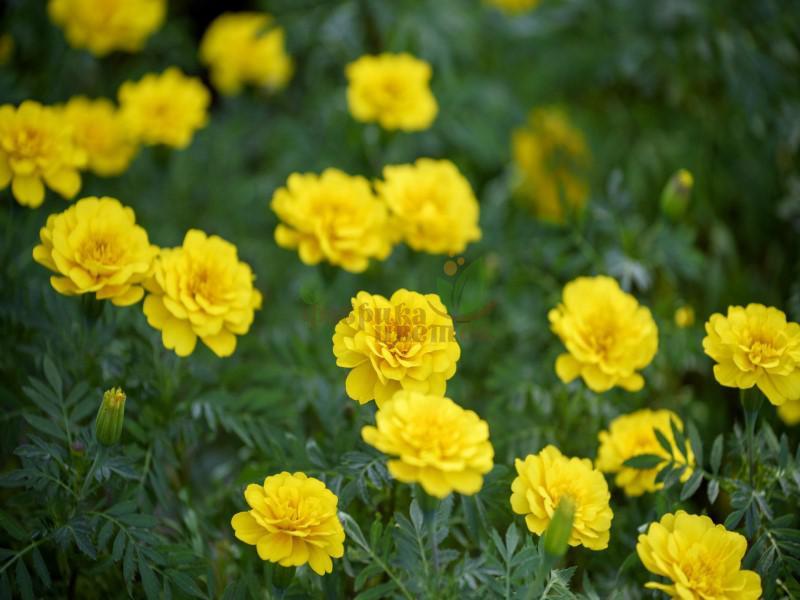 Бархатцы pat Bonanza Yellow