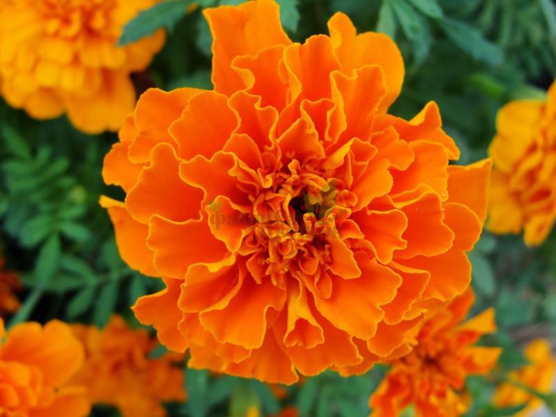 Бархатцы pat Bonanza Orange
