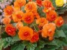 Бегония Крупноцветковая Primary Orange
