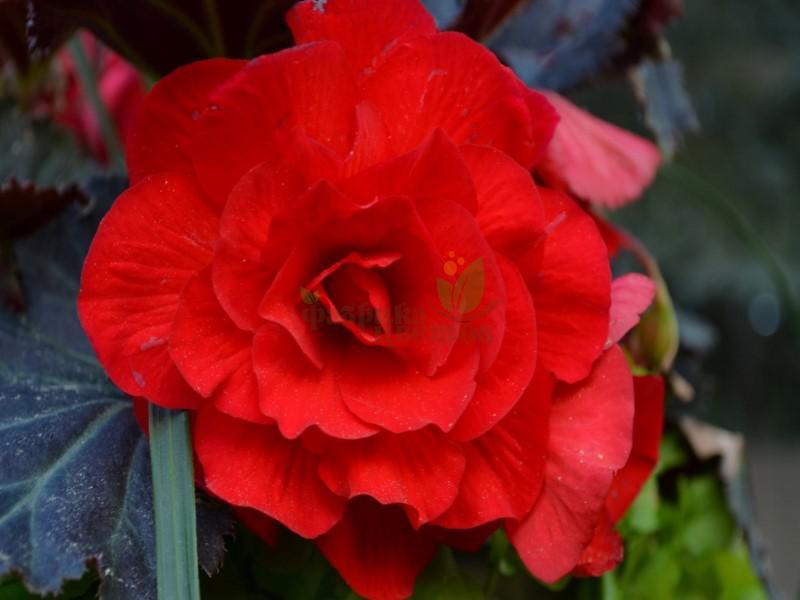 Бегония Крупноцветковая Primary Scarlet