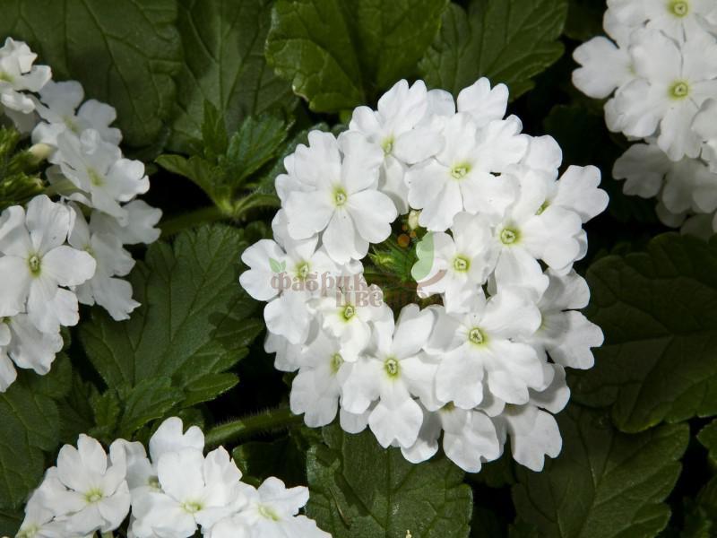 Вербена Quartz ХР White