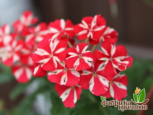Вербена Ампельная Magelana Red Star