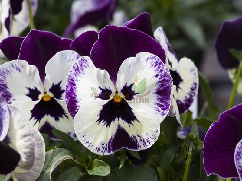 Виола Cornet Purple Face