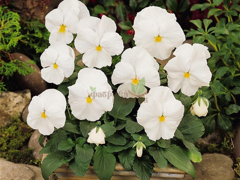 Виола White