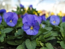 Виола True Blue