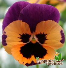 Виола Orange Violet_Wing