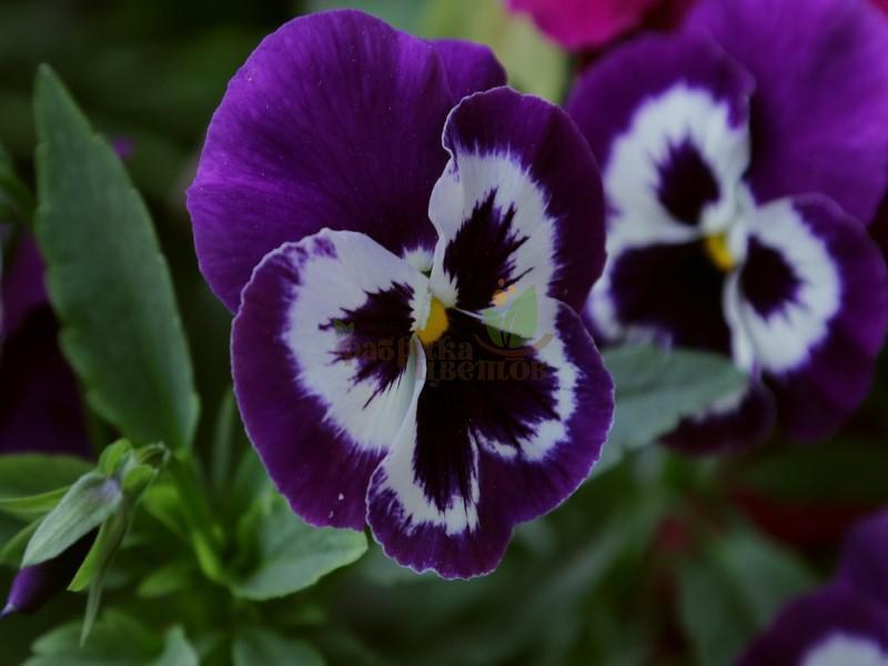 Виола Violet White-Face