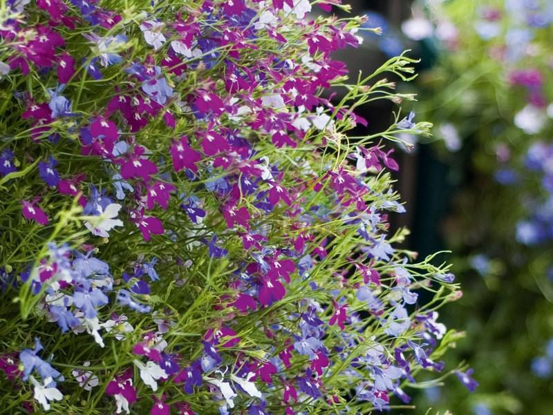 Лобелия Ампельная TRIO Blue, Purple, White