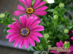 Остеоспермум Daisy Purple