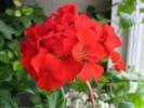 Пеларгония Inspire Scarlet