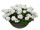 Пеларгония Inspire White