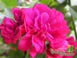 Пеларгония Ампельная Big5 Neon Pink