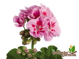 Пеларгония Крупноцв Dolce Vita Linus pink