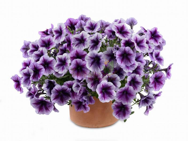 Петуния Ампельная Prelude Purple Vein