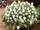 Петуния Ампельная Surfinia Table White