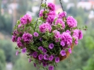 Петуния Ампельная Surfinia Double Lilac арт.9004