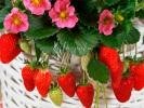 Земляника Ампельная Toscana Rose