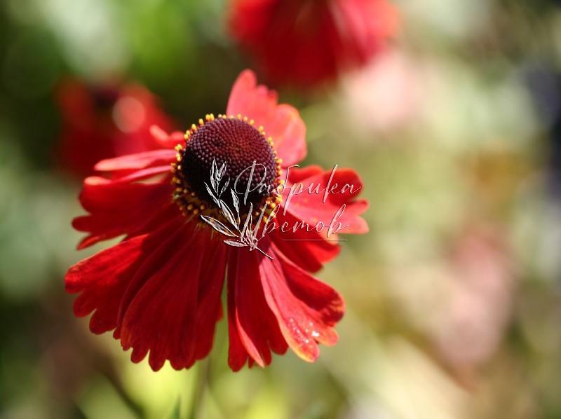 Гелениум Moerheim Beauty
