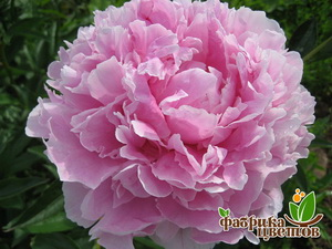 Пион молочноцветковый Sarah Bernardt 2_3